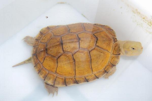 黄喉拟水龟苗的饲养_黄喉拟水龟怎么养漂亮,黄喉拟水龟是深水龟吗_鸟基地博客