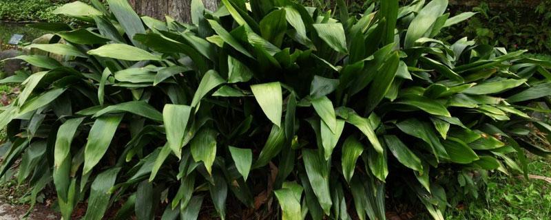 蜘蛛抱蛋属的植物有哪些图片