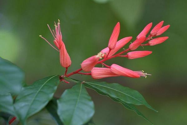 红雀珊瑚叶子发白怎么办图片