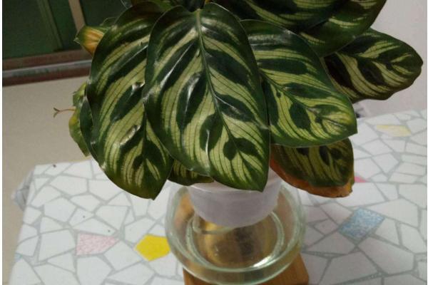 双线竹芋盆栽图片
